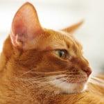 orange-tabby